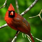 """Male  Northern Cardinal"" by Melinda Stewart Page"