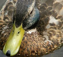 Duck on the Water by Lorna Boyer