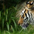 Tiger on the Move by Neboal