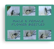 Male & Female Flower Beetles Canvas Print