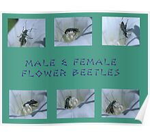 Male & Female Flower Beetles Poster