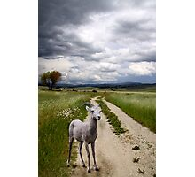 Rocky Mountain Bighorn Sheep Photographic Print