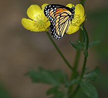 Butter Cups And Butterfly by Nancy  Vice