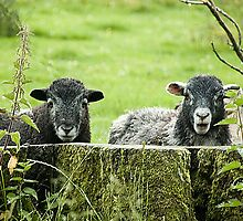 Two lambs by woolleyfir