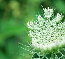 Lace of the Queen Anne's Lace flower by Jeff Stroud