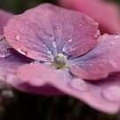 Lace Cap Hydrangea  by Martina Fagan