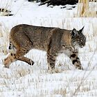 Tule Lake Bobcat - 16339 by BartElder