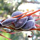 seed pods for grevillea by betty porteus