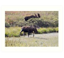 Two Bull Moose  - 11861 Art Print