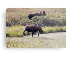 Two Bull Moose  - 11861 Metal Print