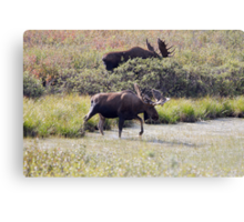 Two Bull Moose  - 11861 Canvas Print