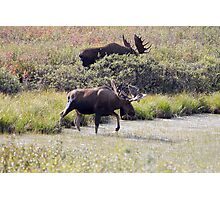 Two Bull Moose  - 11861 Photographic Print