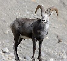 Male Stone Sheep - 10589 by BartElder