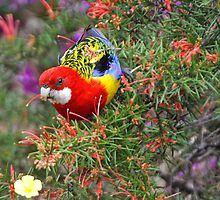 Eastern Rosella by Robert Elliott