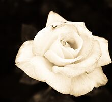 Pale Rose by Daniel Ross