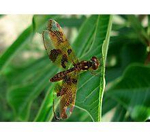 Eastern Amberwing  148 Views Photographic Print