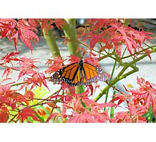 Monarch Among The Red Leaves Photographic Print