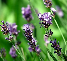 Vibrant Herbs by AngelaFoster