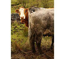 Scottish Cow Photographic Print