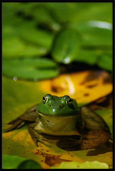Kermit the Frog. by evmphotos
