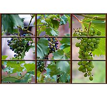 View of the Vineyard Photographic Print