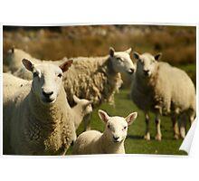 Scottish Sheep Poster