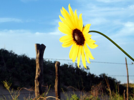 Western Style Sunflower by R&PChristianDesign &Photography