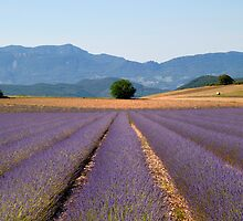 lavender  fields by patrick pichard