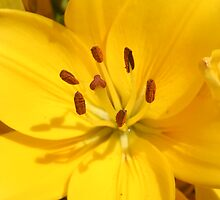 Sunshine Lilly by Heather Caye