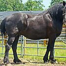 Black Percheron by Al Bourassa
