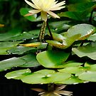 water lily reflection by patrick pichard