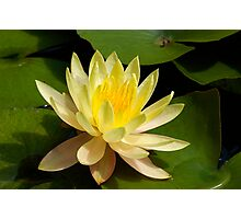 yellow water lily Photographic Print