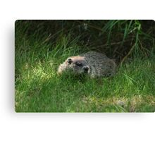 Hello Mr GroundHog Canvas Print