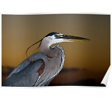 Great Blue Heron Portrait Poster