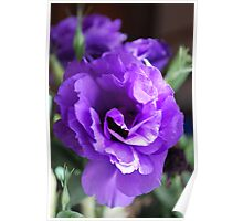 Lithianthus : Mauve in the Morning. Poster