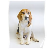 The Judge - Animal Rescue Beagle Portrait Poster