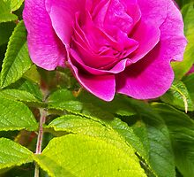 Sitka Tea Rose I by copperhead