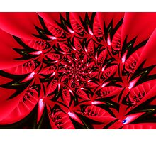 Poinsetta Passion Photographic Print