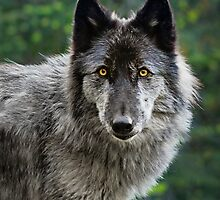 Rogue Wolf - Wolfdog Portrait by AndreaBorden