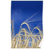 Golden Wheat Poster
