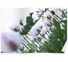 Purple and White Poppies Poster