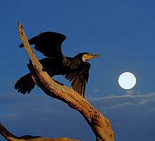 Cormorant  by helmutk