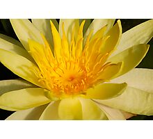 heart of a yellow water lily Photographic Print