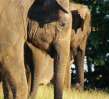 Elephas Maximus by Mark Thompson