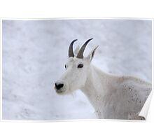 Mountain Goat - Glacier Park Poster