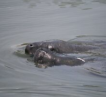 Manatees at Blackpoint Preserve by Mike Fischetti