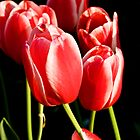 Tulips by MiImages
