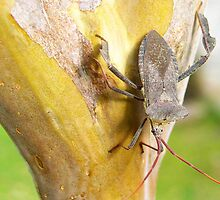 A stink bug sitting on the bark of my Crepe Mrytle tree in San Antonio, Texas by kellimays