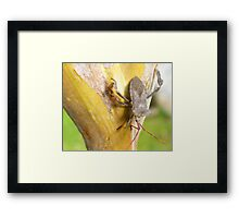 A stink bug sitting on the bark of my Crepe Mrytle tree in San Antonio, Texas Framed Print