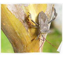 A stink bug sitting on the bark of my Crepe Mrytle tree in San Antonio, Texas Poster